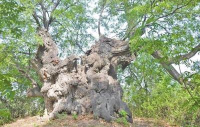 网友拍摄的被烧前古树的照片