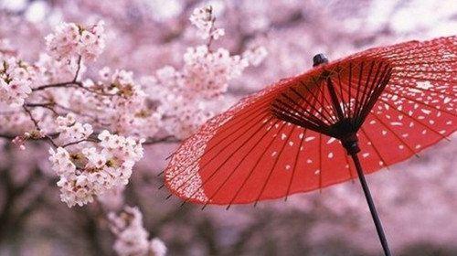 日本樱花_日本樱花