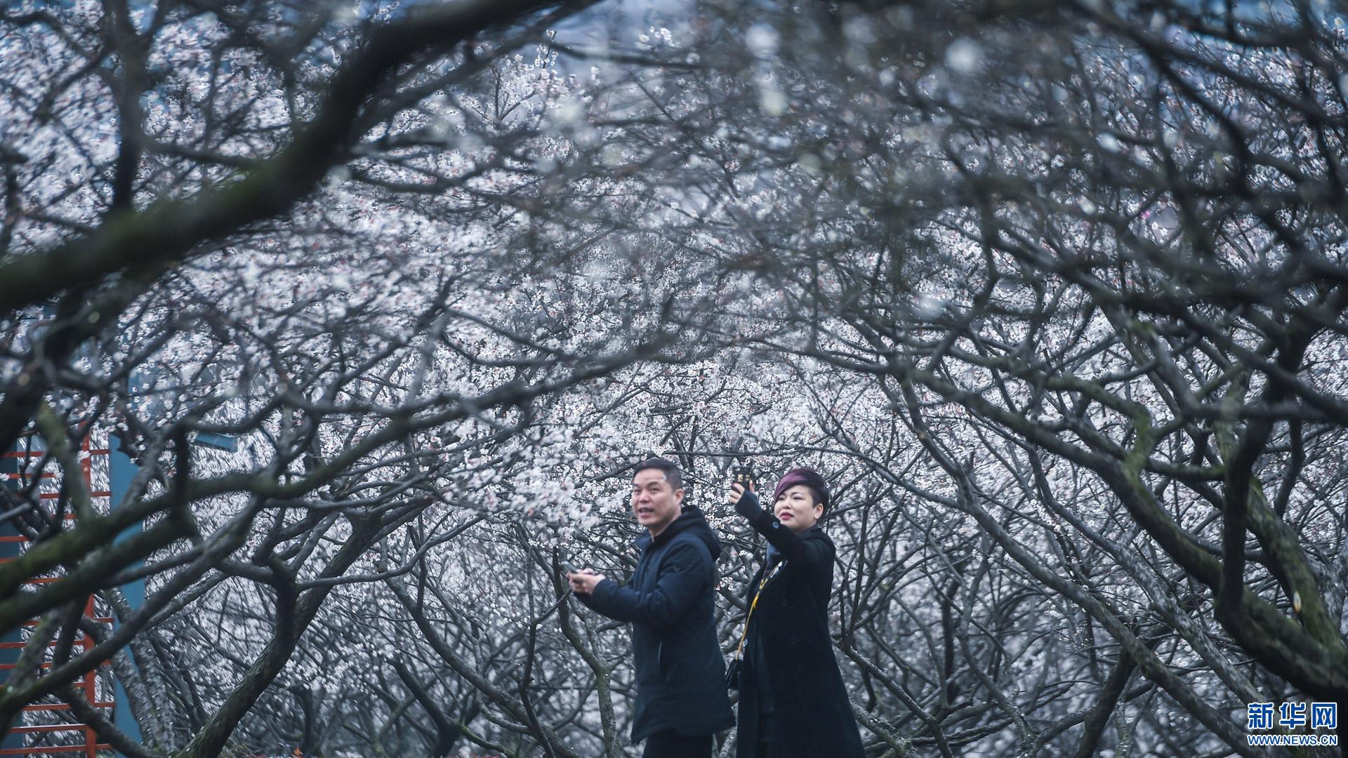 立春前后,浙江省杭州市余杭区超山风景区5万多株梅花