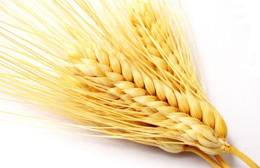 大麦小麦皆为谷物 谁更胜一筹