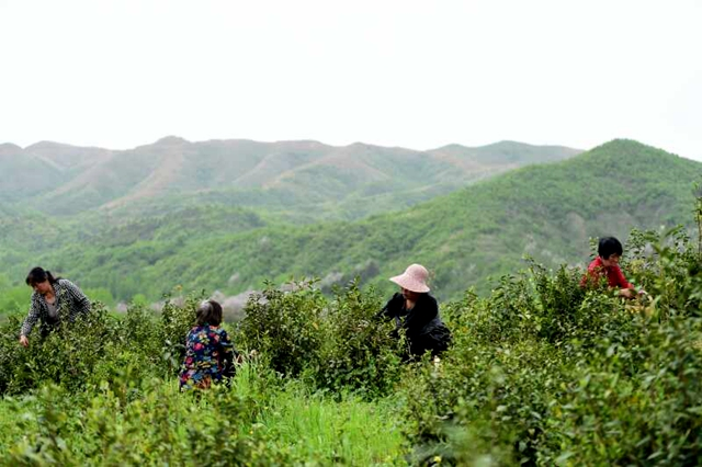 泌阳:发展茶产业 带领群众走生态脱贫路