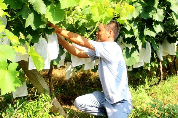 汝南县古塔街道百余亩生态葡萄提前上市