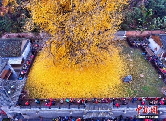 """西安一棵千年古银杏树成""""网红"""" 参观需预约"""