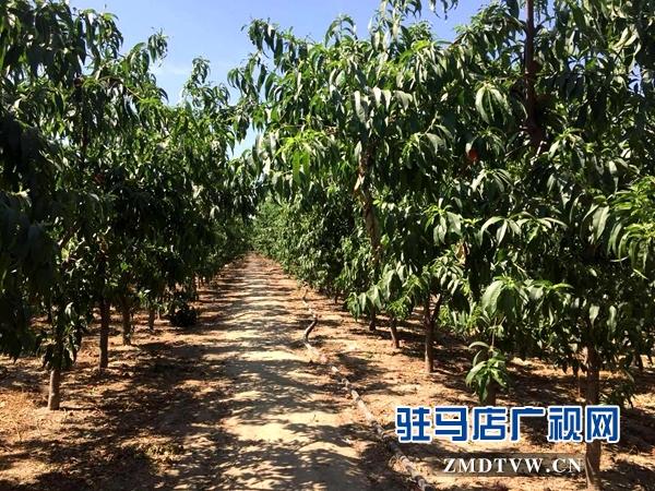 驿城区刘庄村10亩桃子成熟摘不完 市民采摘1斤1元