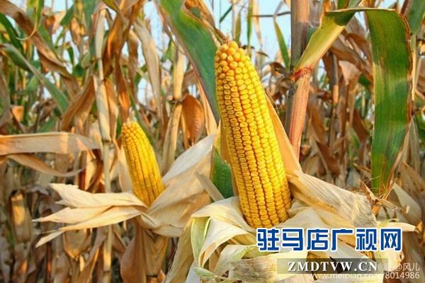 驻马店市农科院选育出优良玉米新品种