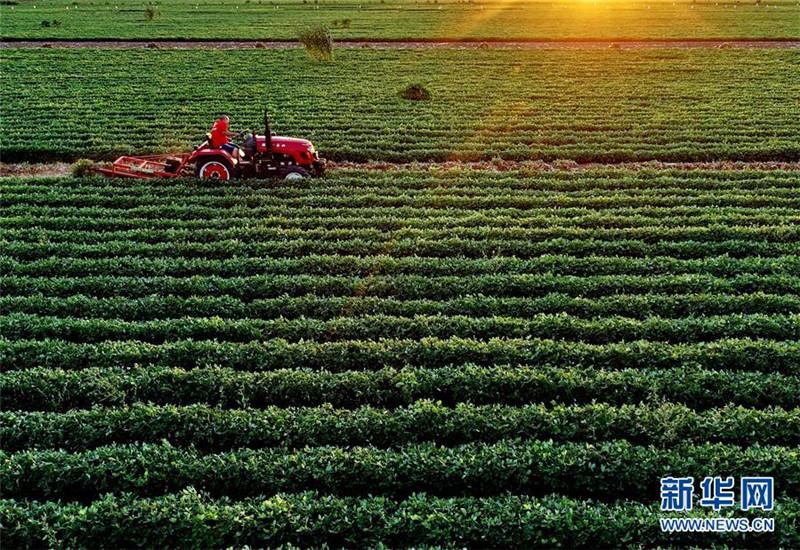 滦县滦城街道办事处杨家院村的农民在收获花生(9月8日无人机拍摄)。近年来,河北省滦县围绕农业供给侧结构性改革,根据当地土质状况引导扶持农民成立花生专业种植合作社,规模化种植高产优质花生,取得良好的效果。据介绍,目前该县花生种植面积达25万亩,年产值达6亿元。新华社记者 杨世尧 摄