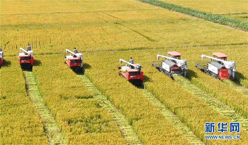 9月27日,收割机在江苏海门临江新区农田里收割水稻(无人机拍摄)。  新华社发(许丛军 摄)