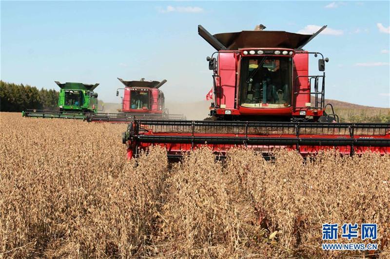 9月27日,黑龙江垦区五大连池农场集中机械力量全力抢收大豆。 新华社发(陆文祥 摄)