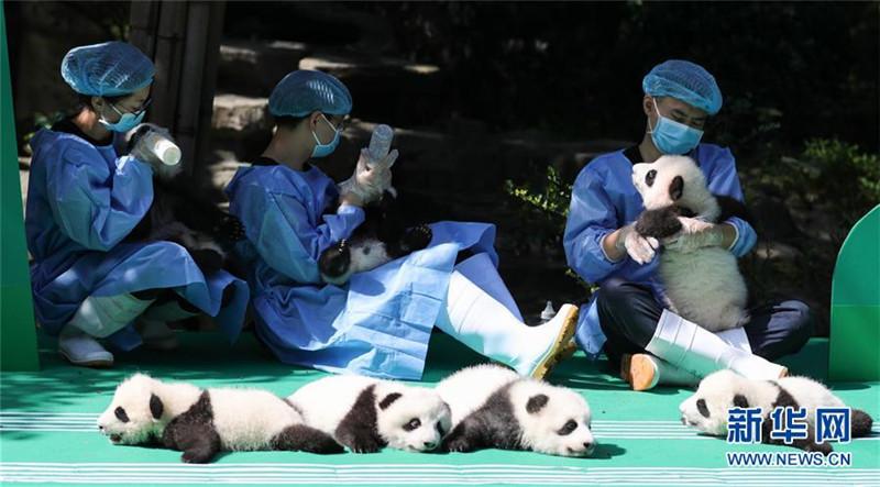 这是9月28日在成都大熊猫繁育研究基地太阳产房拍摄的大熊猫宝宝。 当日,成都大熊猫繁育研究基地为2018年出生的12只新生大熊猫宝宝举行了一场别开生面的亮相活动。 新华社发