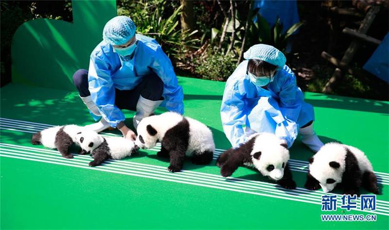 2018年成都新生大熊猫宝宝齐亮相