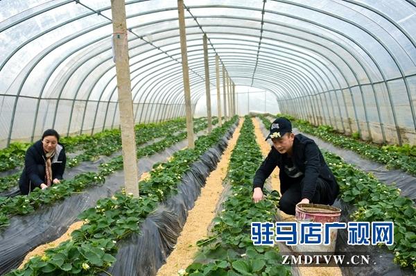 正阳县永兴镇:草莓花开致富路