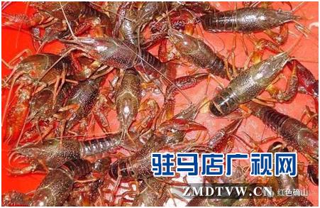 确山:火红小龙虾 实现致富梦