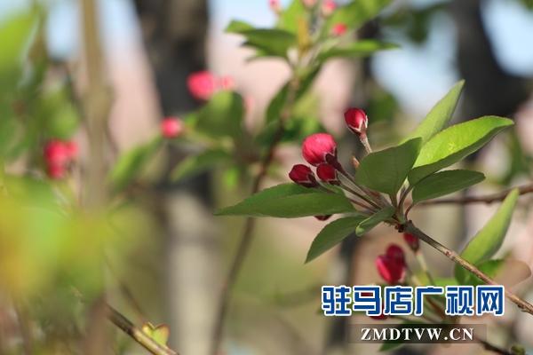 西平县:第二届海棠文化旅游节开幕