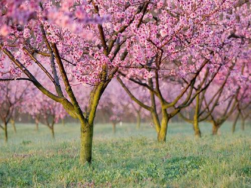 桃树经济实现乡村振兴