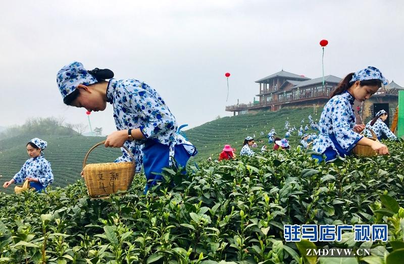 采茶女正在采摘茶叶