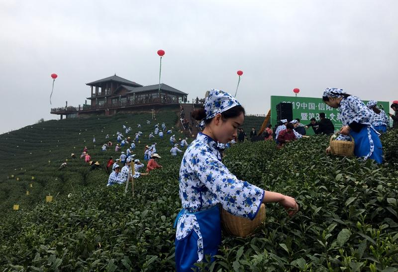 茶叶采摘季|信阳万亩茶山风景如画