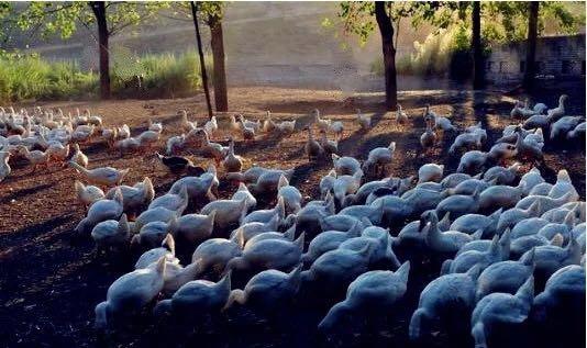 养殖大白鹅 走上富裕路