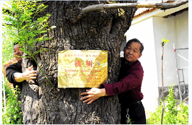 正阳闰楼村有棵500年古槐树
