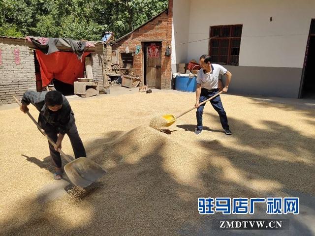 确山县卫健体委驻村工作队帮助贫困户抢收小麦