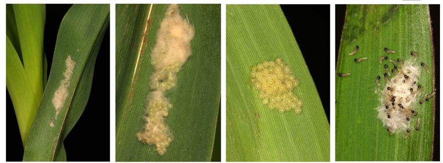 农业专家提醒 预防玉米早期病虫害