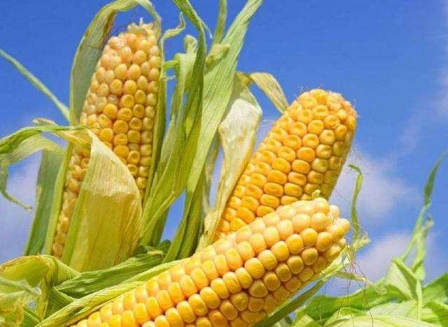专家提醒 立秋后玉米田间管理要跟上
