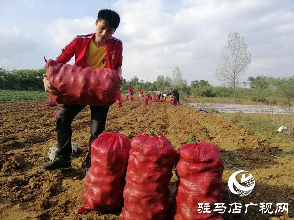 农家红薯销售难  爱心企业解愁烦