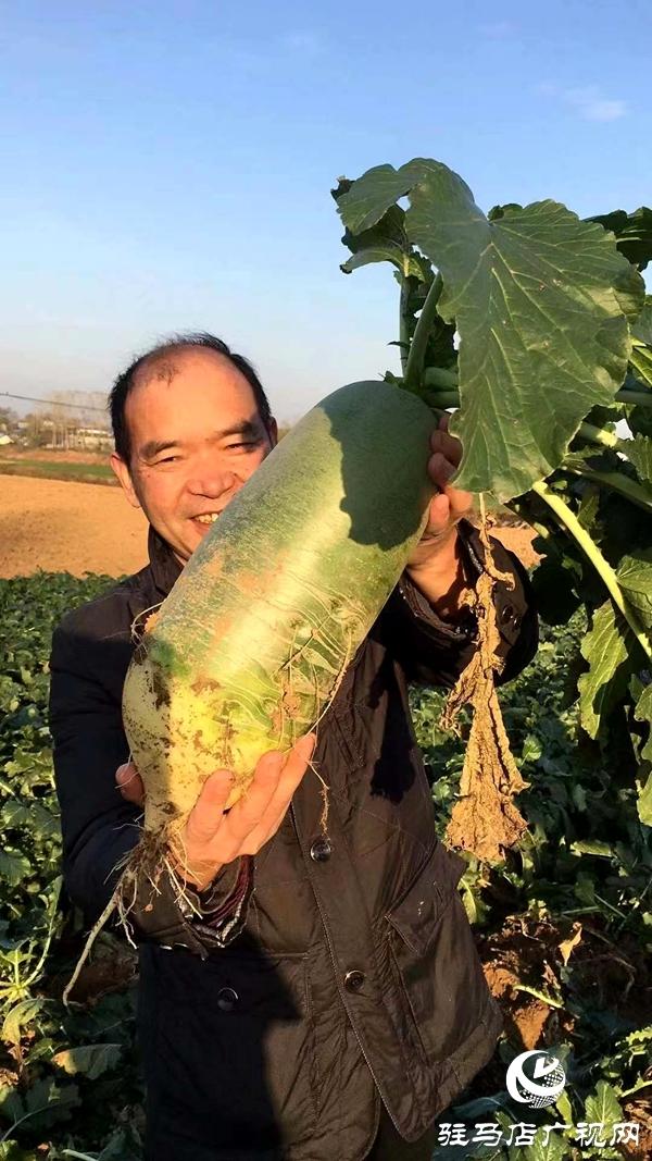泌阳县闫洼村的水果萝卜丰收了