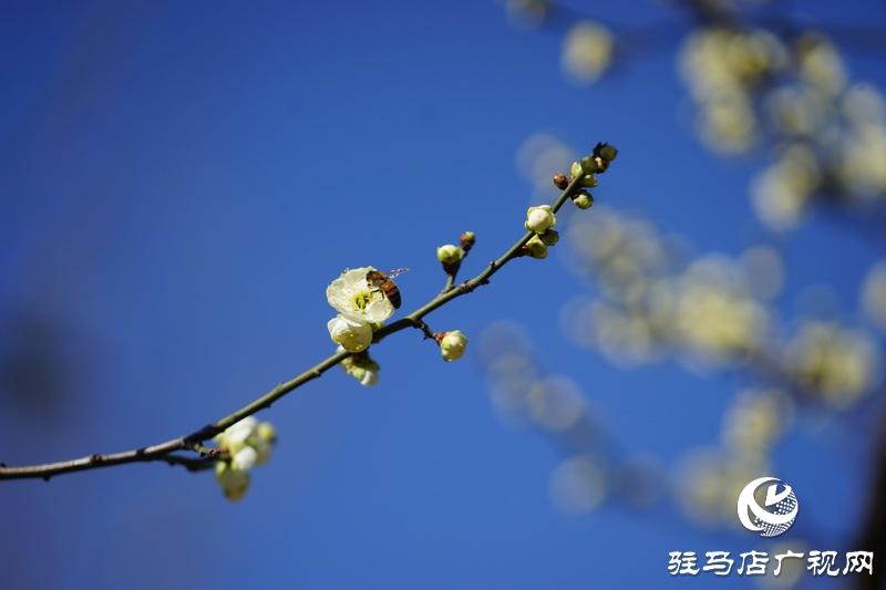 你看,红梅、白梅、迎春花