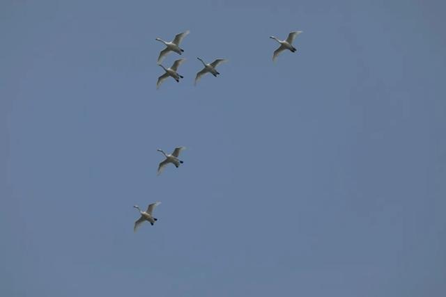 泌阳县铜山湖湿地公园飞来一群白天鹅