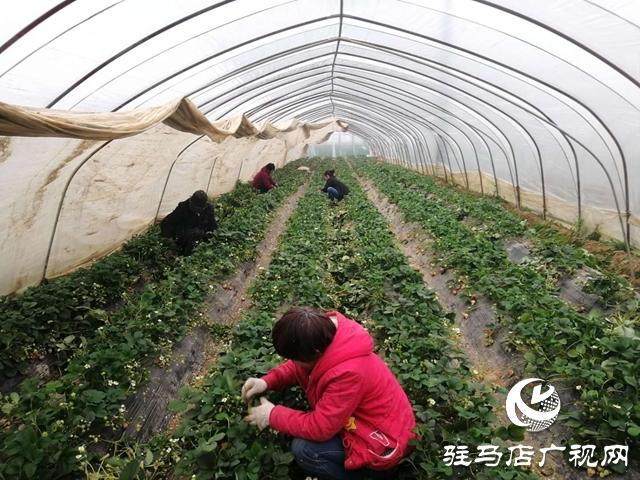 上蔡县蔡埠口村:提升果品质量 服务农户销售