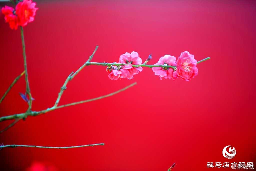 鲜艳艳的红花绽放