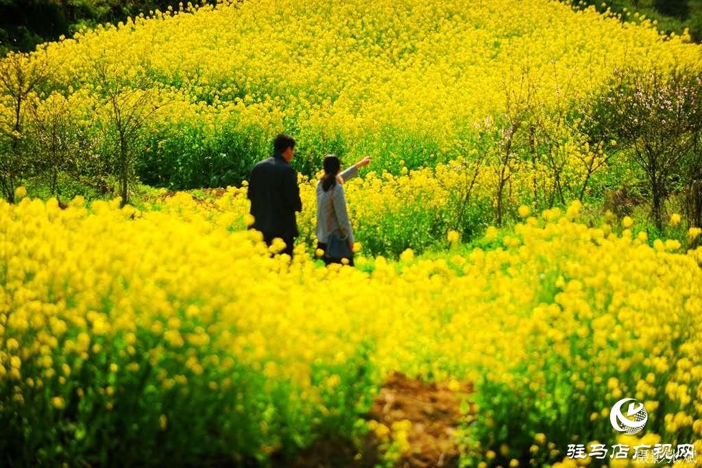 黄黄的油菜花,满眼是春的气息!