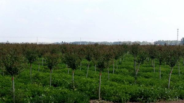 上蔡县和店镇成立花木协会 打造生态品牌