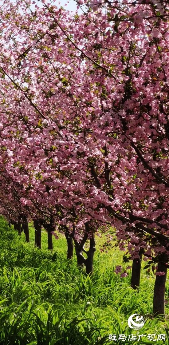 海棠花开春满城