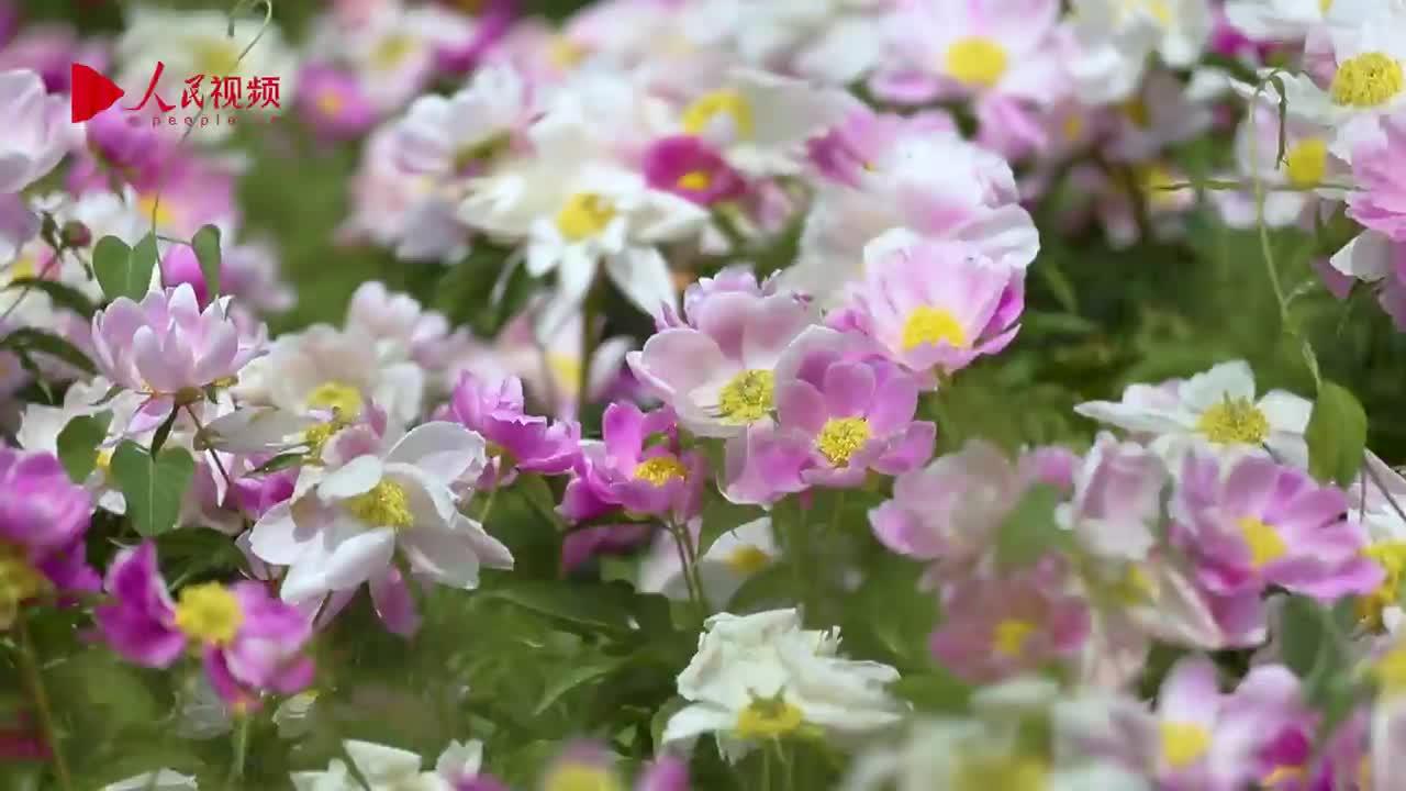 芍药花开 姹紫嫣红