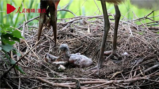母亲节,看动物老母亲如何反刍哺育幼崽