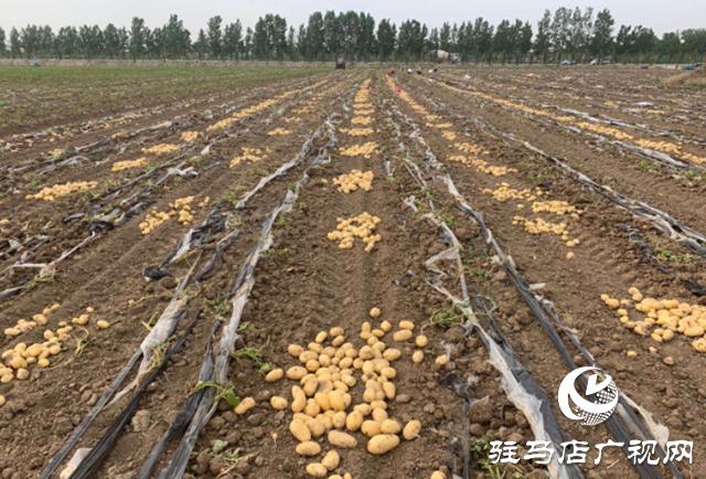上蔡县曹王村:土豆丰收农民乐
