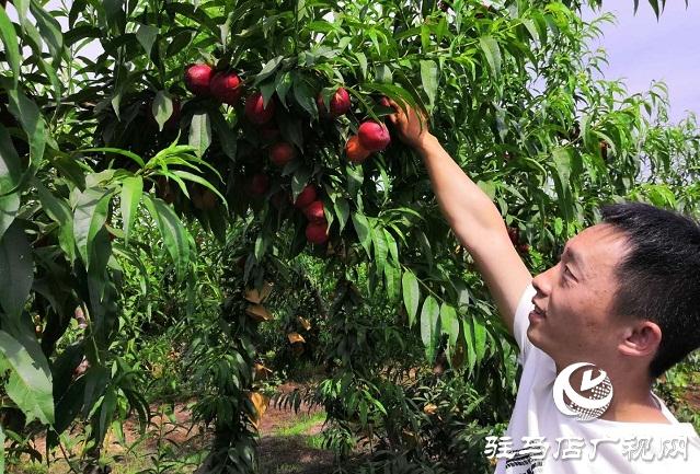 汝南县王岗镇:百亩鲜桃喜获丰收 第一书记网上代言