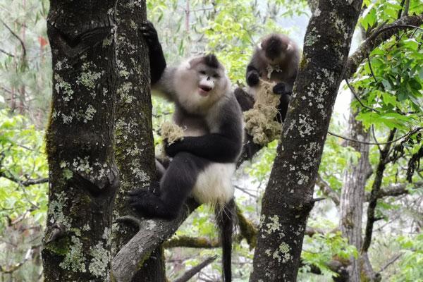 滇金丝猴成为迪庆州文旅局首席顾问