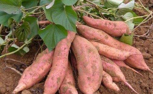 高庙产业优 红薯效益好