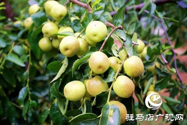 河南驻马店驿城区:冬枣甜出幸福生活
