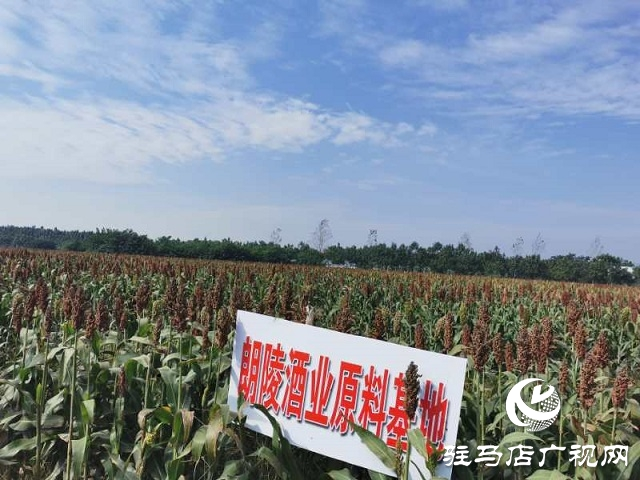 朗陵灌酒打造订单农业助农增收