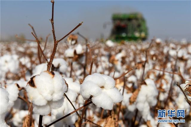 金秋十月新疆各地棉花进入大规模采摘期