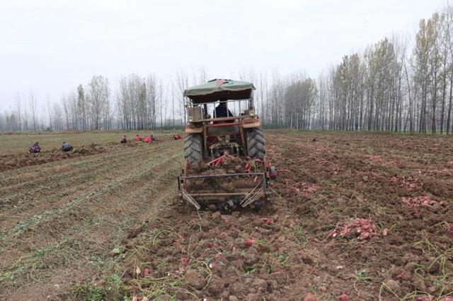 汝南县柴庄村:合作社的红薯丰收了