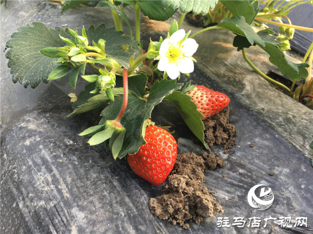 北沃农业助力安徽草莓生产