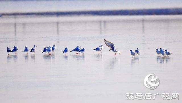 汝南:环境治理绘就生态画卷 宿鸭湖首迎越冬红嘴鸥