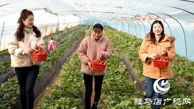 新蔡县南湖街道:小草莓助力乡村大振兴