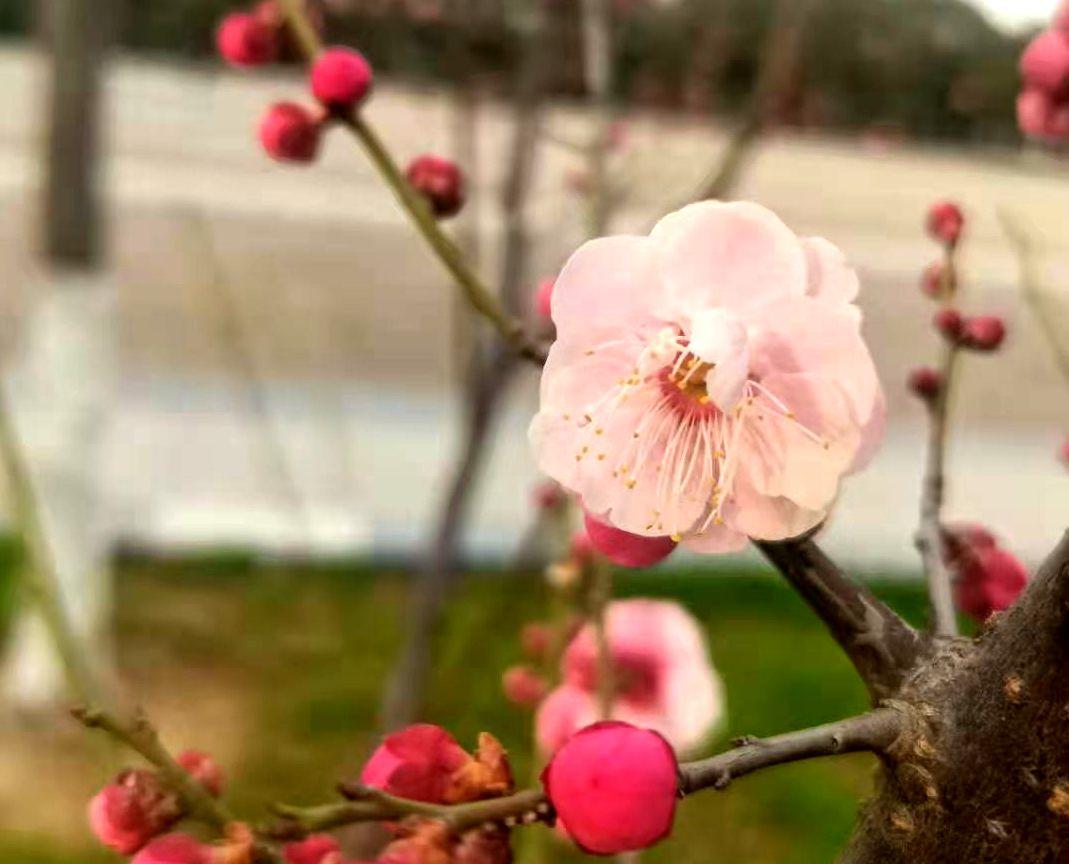 梅花盛开春意来