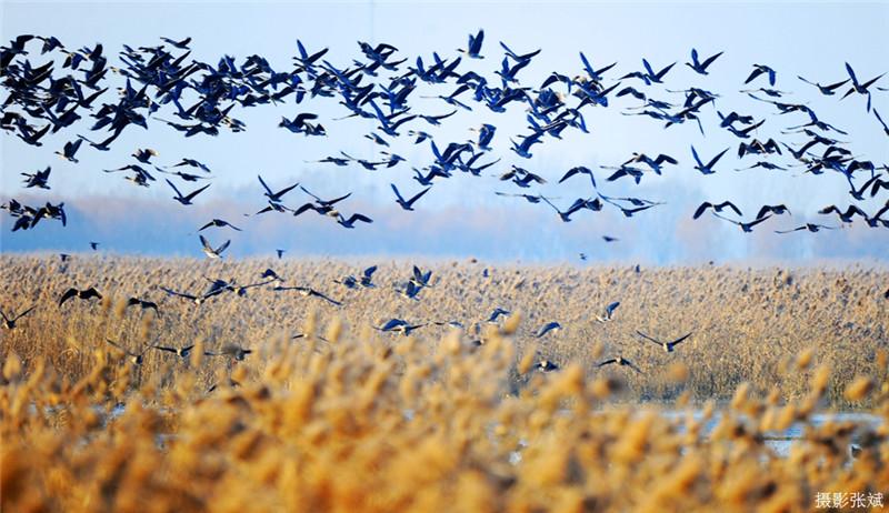 【今日驻马店】中原最美湿地、越冬候鸟家园——宿鸭湖