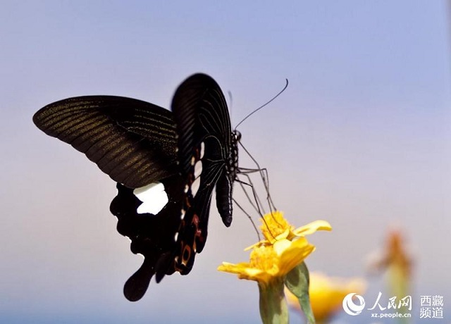西藏蝴蝶:大自然的舞姬